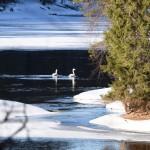 Лебеди на реке Оланга. Фото Сергей Вильховик